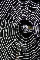 Spider Web, Washington