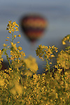 Hot air balloons sail over Napa Valley mustard fields.