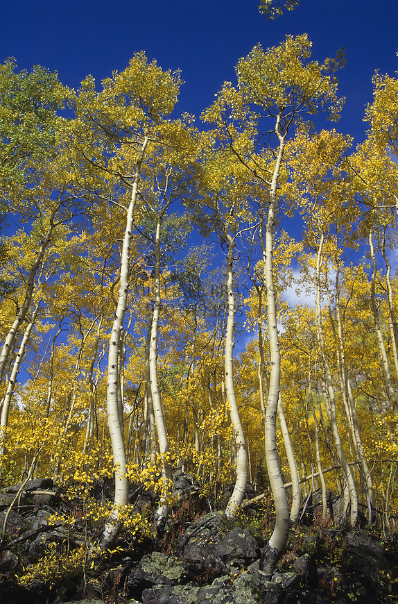 Aspen trees in the Maroon Bells Wilderness. © Michael Brands, 2008