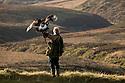 Male Golden Eagle {Aquila chrysaetos} on falconer's arm overlooking moorland, Peak District National Park, UK. Captive bird. Model release.
