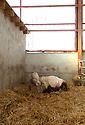 15/03/05 - SAINT MARTIN DE LA MER - COTE D OR - FRANCE -  Cesarienne sur mere Charolaise du GAEC de la Croix Cargeot - Photo Jerome CHABANNE
