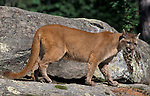 Cougar or Mountain Lion, Felis concolor, on rocky ledge, controlled situation.USA....