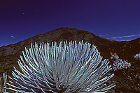 Silversword, close-up with deep blue sky and Haleakala crater rim in the background