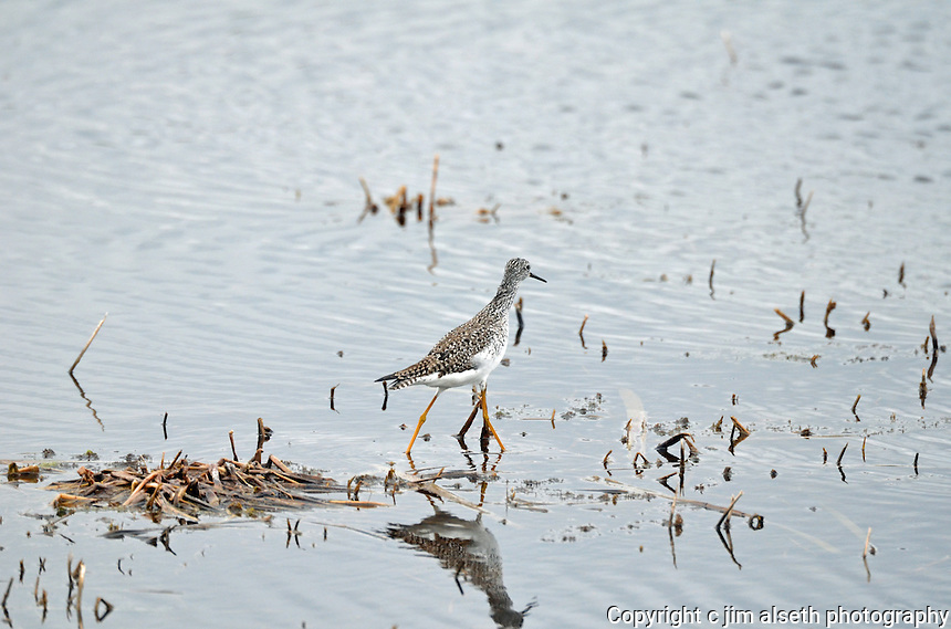 Greater Yellowlegs are one of a number of shore birds frequenting Gull Lake Alberta.
