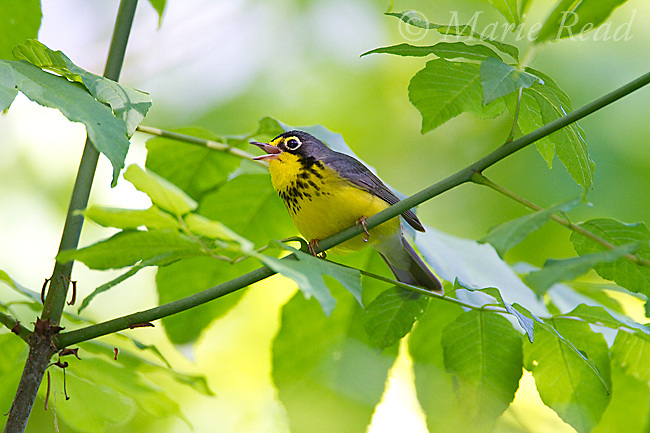 Canada Warbler (Wilsonia canadensis) male in breeding plumage, singing in spring, New York, USA