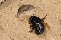 Gemeine Pelzbiene, Pelz-Biene, Frühlings-Pelzbiene, Frühlingspelzbiene, Weibchen, Anthophora acervorum, Anthophora plumipes, an Loch in Lehmwand einer Wildbienen-Nisthilfe, Insektenhotel, in dem es ihre Eier ablegt und Pollen einträgt, common Central European flower bee