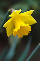 Daffodil (Narcissus 'Bleasby Gorse'), mid March.