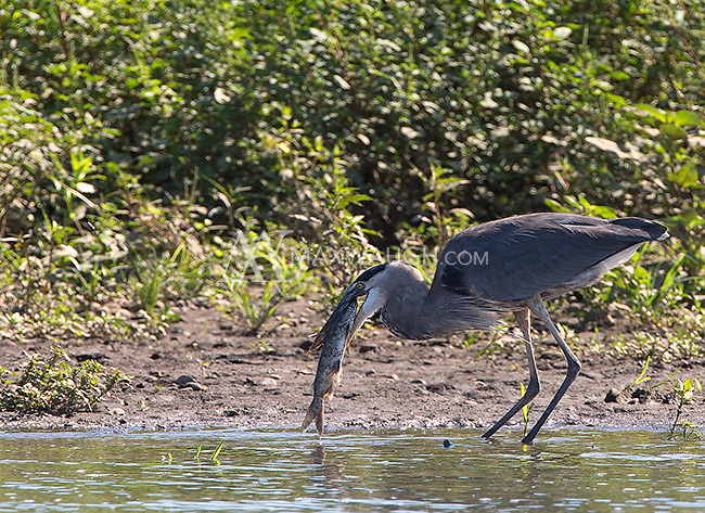 A great blue heron catches a catfish.