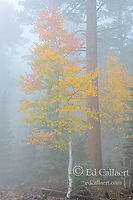 Aspen in Fog, North Rim, Grand Canyon National Park, Arizona