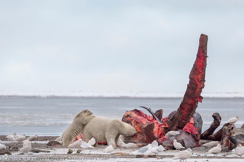 Polar bears feed on a Bowhead whale carcass on Barter Island, Alaska.
