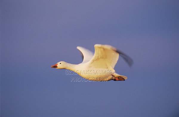 Snow Goose, Chen caerulescens, adult in flight, Bosque del Apache National Wildlife Refuge , New Mexico, USA, December 2003