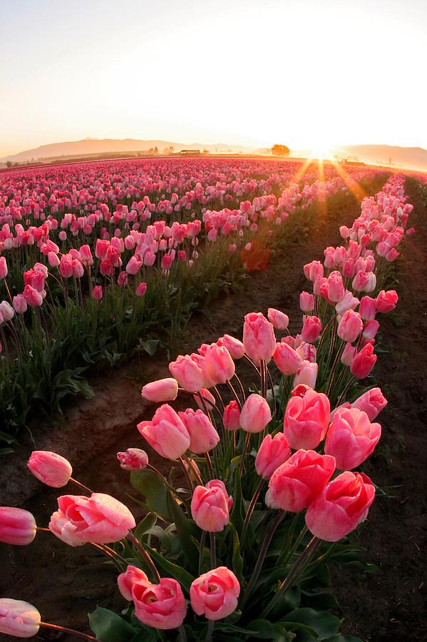 Field of pink tulips, Mount Vernon, Skagit Valley, Skagit County, Washington, USA