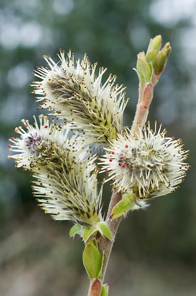 Salix x balfourii
