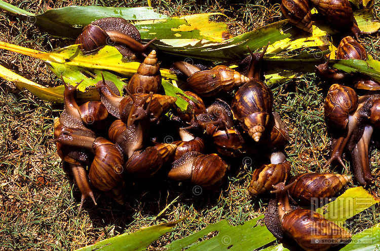 Giant African Snail or Acatina fulica massing