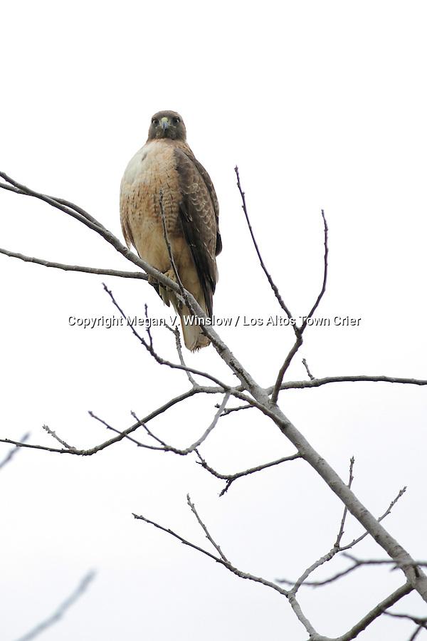 Red-shouldered hawk, Cuesta Park, Mountain View
