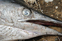 SIERRA LEONE, Tombo, fish market, sword fish, food security and the livelyhood of small fishermen are affected by international big trawler fleet / SIERRA LEONE Fischerhafen Tombo, die Ernaehrungssicherung der Kuestenbewohner und die Existenz von Kuestenfischern ist durch Ueberfischung grosser Trawler Flotten bedroht