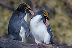 South Georgia Island (British Overseas Territory) , macaroni penguin (Eudyptes chrysolophus)
