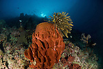 Big barrel sponge with a featherstar in coral reef