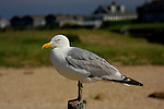 A close-up of a seagull on the Cape cod beach.