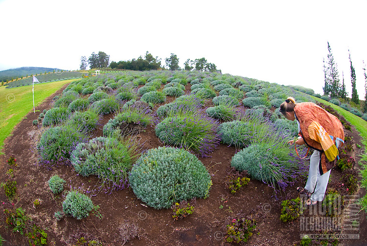 A woman more closely examines a lavender plant at the Alii Kula Lavender farm at the base of Haleakala, Kula