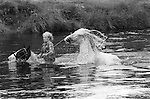 Appleby in Westmorland Horse fair Cumbria. Gypsy man riding horse through River Eden. 1981 Britain