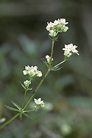 LIMESTONE BEDSTRAW Galium sterneri (Rubiaceae) Height to 30cm. Spreading, mat-forming perennial that turns greenish black when dry. Similar to Heath Bedstraw but only grows on base-rich grassland, never on acid soils. FLOWERS are 3mm across and greenish white with 4 petals; borne in domed clusters (May-Jul). FRUITS are hairless and warty nutlets. LEAVES are narrow-oblong and bristle-tipped, with backward-pointing marginal bristles. STATUS-Locally common in N only.