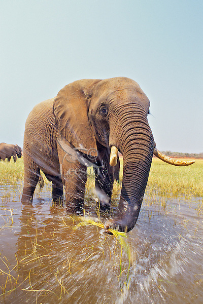 African Elephant bull feeds in the edge of a lake.  Africa.
