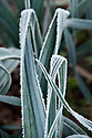 Autumn hoar frost on leeks, October.