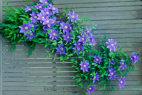 "The great escape: Purple Clematis flowers, Clematis terniflora, aka ""Barbara Jackman"" clematis, grow through the garden fence for surprising bright color"