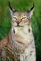 657144001 portrait of a canadian lynx felis lynx - animal is a wildlife rescue - species is endangered in its northern north america habitat