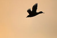 Green-winged Teal (Anas crecca) flying against sunrise.  Pacific Northwest. Winter.