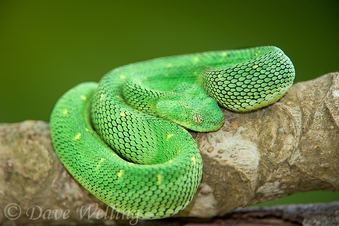 489590001 a captive greenish coloration west african bush viper atheris chlorechis sits coiled on a limb