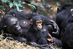 Fifi rests with grandson Fudge. Female chimpanzee (Pan troglodytes schweinfurthii). Africa, East Africa, Tanzania, Gombe NP, Jane Goodall Institute/GSRC