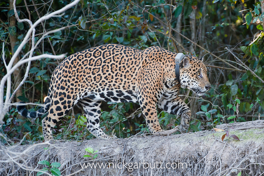 Tagged male Jaguar (Panthera onca palustris), aged 13 years, walking along the bank of the Cuiaba River, near Porto Jofre, northern Pantanal, Mato Grosso State, Brazil, South America.