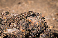 A Western Fence Lizard stops and poses on a gnarled shrub along the path at the MLK Regional Shoreline across from the Oakland International Airport.