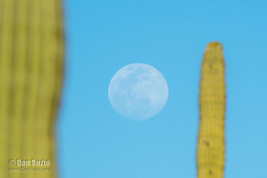 Full moon and Saguaro cactus, Carnegiea gigantea, in Saguaro National Park, Arizona