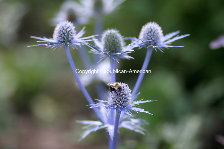 LITCHFIELD, CT - 21 JUNE 2008 -062108JW06.jpg -- A bee looks for pollen across a Eryngium Saphire Blue at White Flower Farms Nursery Saturday afternoon.  Jonathan Wilcox Republican-American