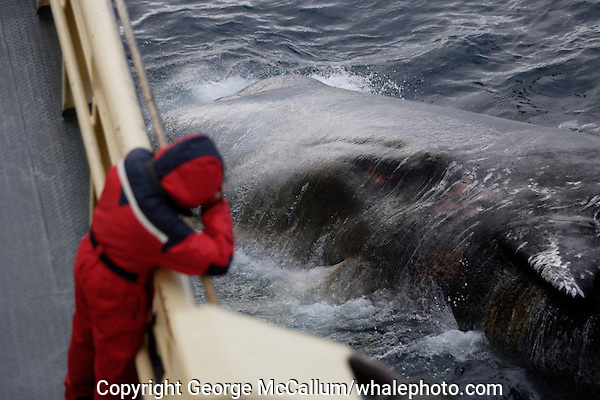 Sperm whale ( Physeter macrocephalus ) Researcher photographing dead sperm whale carcass floating at ships side. Barents sea, North East atlantic