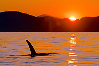 killer whale or orca, Orcinus orca, transient orca, surfacing at sunset, Gulf Islands, British Columbia, Canada, Pacific Ocean