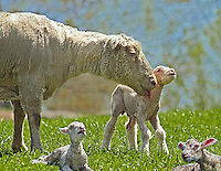 SHEEP<br /> Ewe And Calves<br /> Mother sheep with three with three newborn calves, one standing with remnant of umbilical cord evident.