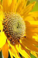 Arrowleaf balsamroot, Tom McCall Wildflower Preserve, Rowena, Oregon, USA