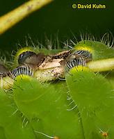 0912-0821  Detail of Ventral Prolegs and Croschets on Oculea Silkmoth Caterpillar, Antheraea oculea © David Kuhn/Dwight Kuhn Photography.