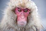 Japan, Japanese Alps, snow monkey, portrait