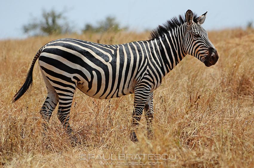 Great Plains Zebra (Equus quagga) Serengeti Tanzania Africa.