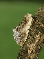 Maple Prominent - Ptilodon cucullina