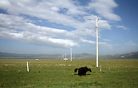A yak on the grasslands near to Qinghai Lake. Qinghai Lake, China's largest inland body of water lies at over 3000m on the Qinghai-Tibetan Plateau. The lake has been shrinking in recent decades, as a result of increased water-usage for local agriculture. Qinghai Province. China. 2010