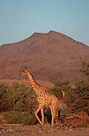 rivière Hoasirub. Au pied des falaises rocheuses, des girafes (giraffa camalopardalis) adaptées au désert.Namibie. Afrique.Namibia; Africa