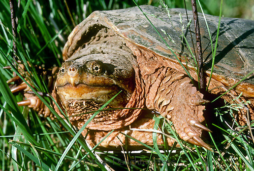 Snapping turtle, Chelydra serpentina, crawling through the grass on a summer afternoon, close up viewed from side Missouri USA