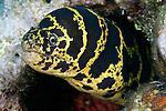 Echidna catenata, Chain moray, Florida Keys