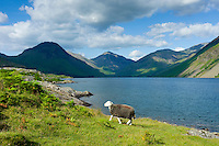 Traditional Herdwick sheep grazing by the road at Wastwater in the Lake District National Park, Cumbria, UK